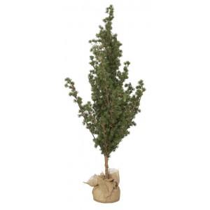 Cedertræ m/jutefod